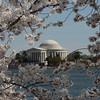 Washington Monument Cherry Blossom Picture