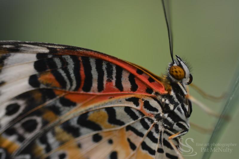 Cheekerspot Butterfly