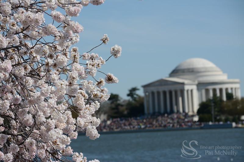 Cherry Blossoms  Washington DC Photo