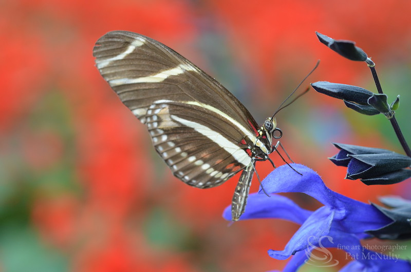 Areus Butterfly Picture