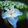 Hydrangea Flower Lace Cap Hydrangea Picture