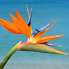 Bird of Paradise Flower Picture