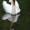 White Swan Picture