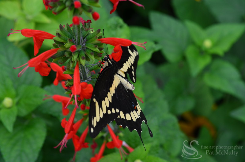 Giant Swallowtail Butterfly Picture