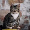 Grey Tabby Kitten Picture