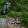 Great Blue Heron  Bird Picture
