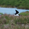Black-Necked Stilt  Bird in Flight Picture