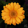 Gerber Daisy Picture