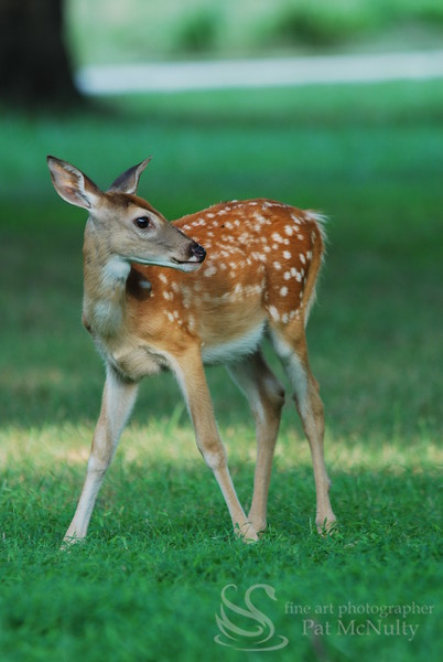 Fawn in a Field Picture