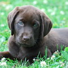 Chocolate Lab  Puppy Picture