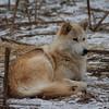 Arctic Wolf Photograph
