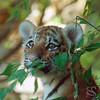 Tiger Cub Picture