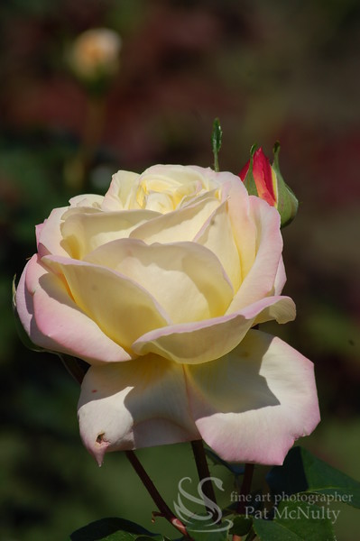 Yellow and Lavender Rose Picture