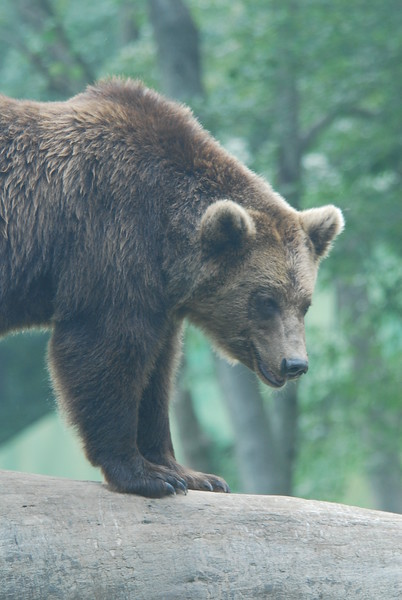 Bear On Rock Picture