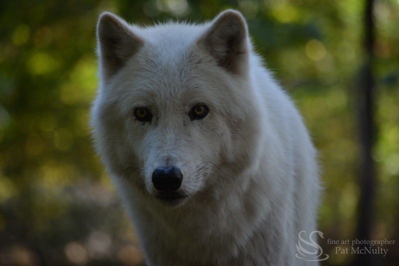Wolf  close-up Picture