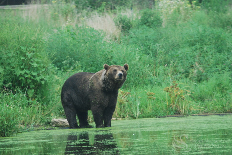 Bear in Lake Picture