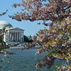 Cherry Blossoms  Washington DC Picture