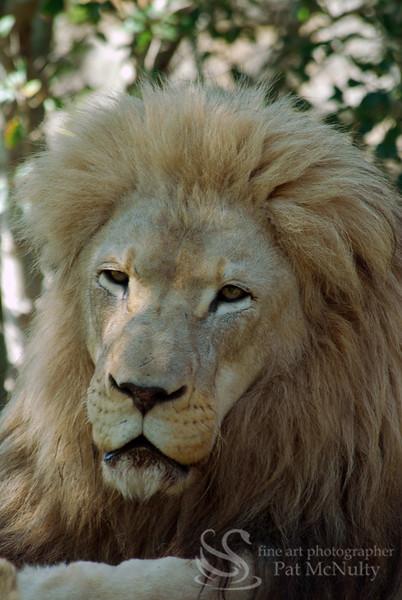Lion Picture
