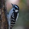 Downy Woodpecker Bird Picture