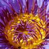 Water Lilly Flower Picture
