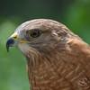 Red-Tail Hawk Bird Photo