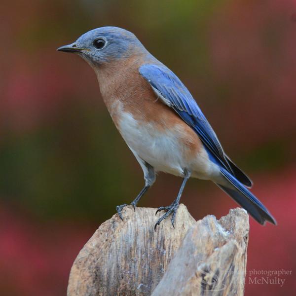 Tree Swallow Bird Picture