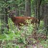 Deer Photograph