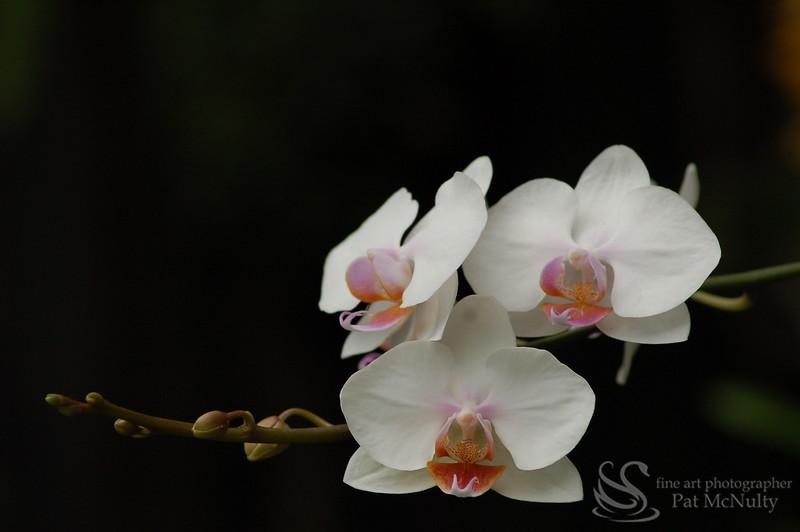 White Orchids Picture