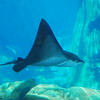 Sting Ray Picture