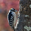 Downy Woodpecker Bird Photo