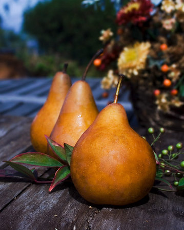 October 1 - Autumn Pears - I'm sorry I've been neglecting my daily journal. It's good to be back after several weeks of work customizing this website. I finally got a few moments to take some pictures and came up with this cheerful Autumn shot for today. I hope you like Bosc pears, I sure do.