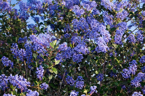 May 1 - Ceanothus (wild lilac) is in bloom all over the hills. A few of these blossoms are blurred, but the wind was blowing this afternoon and they just would not sit still to have their photo taken.