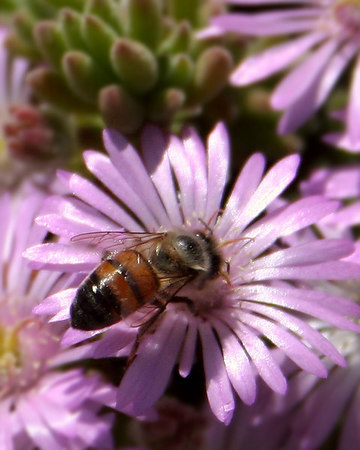 May 9 - Bee on a Daisy