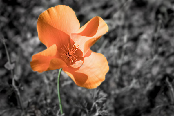 "May 28 - California Poppy - Our state flower. I got the color right on this one. It's so hard to keep orange from blowing out in the bright sun! I thought the color deserved a ""stand out"" treatment."