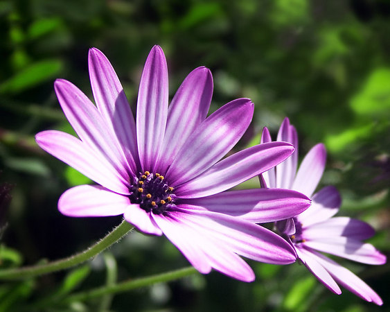 June 5 - African Daisy