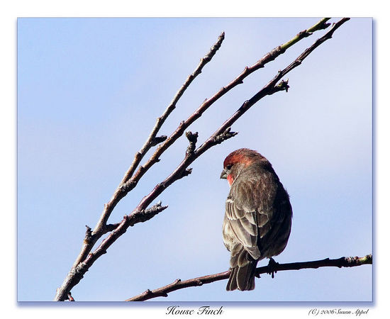 March 1 - Male house finch