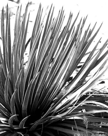 March 5 - A yucca in black & white. I pumped up the blue channel to throw the background completely to white in order to accent the pattern of the leaves. As you can see, I'm playing with black and white processing a bit.