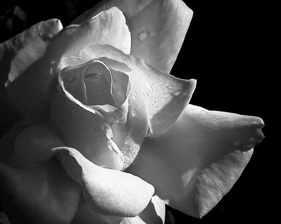 March 11 - This is a yellow and red rose. I converted the image to black and white and liked the way the red petal tips came out shaded. It throws some odd shadows into the black and white image.