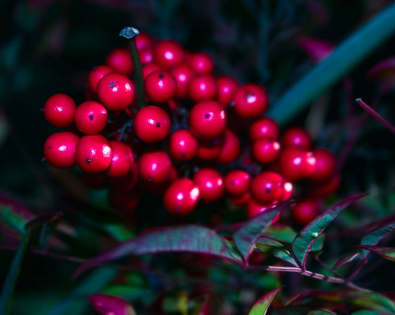 "January 11 - I can count on the ""Nandina"" or ""Heavenly Bamboo"" to provide a constant show. The new leaves are red, they have pretty blossoms, and bright red berries in winter."