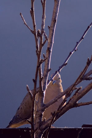 February 12, 2006 - Wow, what a big lens you have! I'll duck behind these branches for cover. Dove