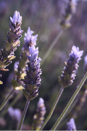January 12, 2006 - Lavender blooms in the warm January sun. We are lucky to have a few flowers in bloom here in Southern California.