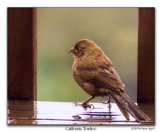 February 28, 2006 - California Towhee on a rainy day. Poor little fellow is fluffing his feathers to try to dry off. But he has been heading to the feeder in spite of the rain.