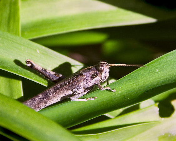 March 16 - A grasshopper in my garden.