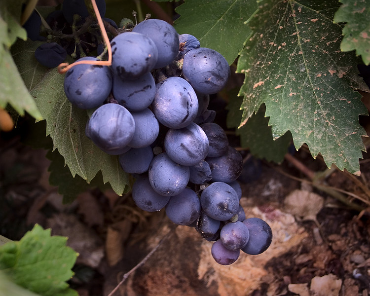 September 1 - Concord Grapes