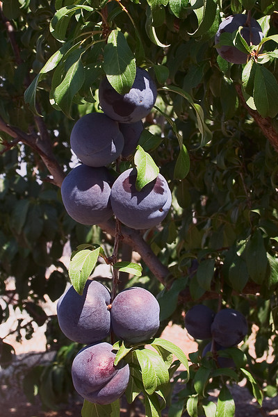 August 2 - Black plums on the tree.