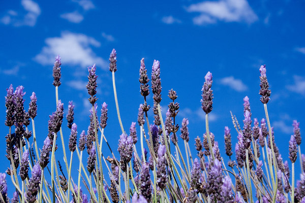 March 29 - Lavender against the bright blue sky