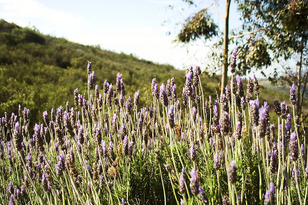 March 25 - A field of lavender.