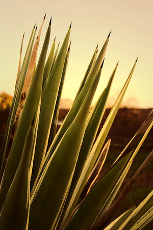 March 12 - The setting sun was making this cactus glow as I took an evening walk.