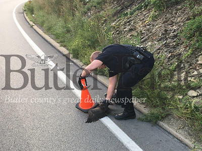 Butler Township Police Sgt. Jim Sasse rescues an injured goose along Route 8 south near the Greater Butler Mart. 3 col