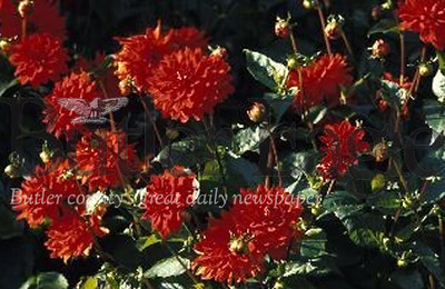 Plant Bulbs in the Fall for a Spring Celebration like this dahlias. Master Gardeners G.A. Cooper/submitted photo